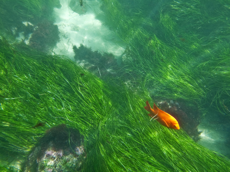 Garibaldi-Kayaking-in-La-Jolla